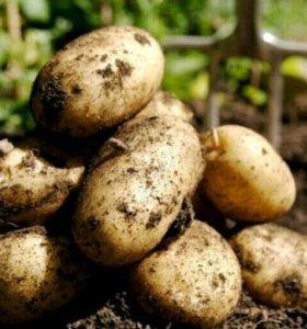 Продам картофель 2017 г