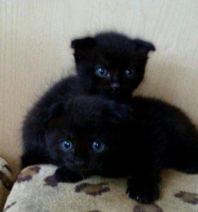 Продаю шотландских котят