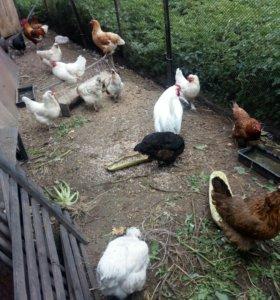 Цыплята и курицы.