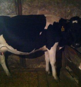 Корова дойная стельная