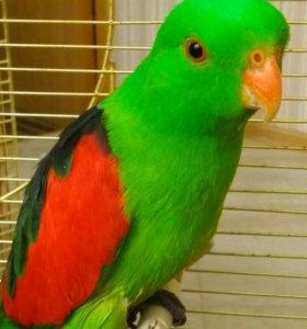 Краснокрылый попугай