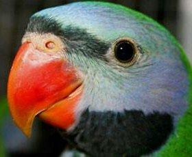 Китайский благородный попугай