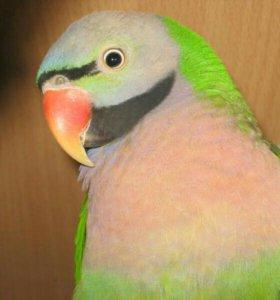 Розовогрудый попугай