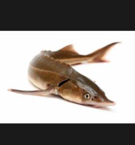 Рыба.крупная