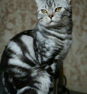Шотландский кот. Вязка.