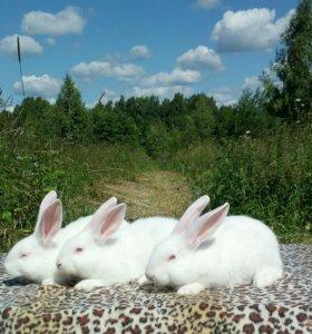 Белый паннон племенные крольчата