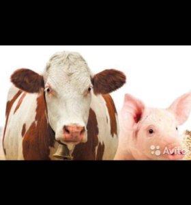 Коровы свиньи
