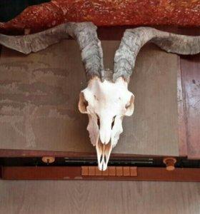 Рога козла