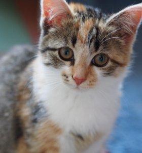 Игривый трехцветный котёнок в добрые руки