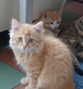 Обаятельный рыжий пушистый котёнок в надёжные руки