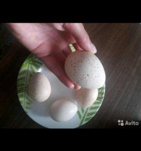 Яйцо индюшиное пищевое