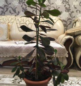 Корделина комнатное растение