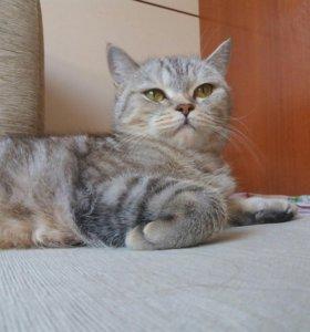 Кошка британская, прямоухая