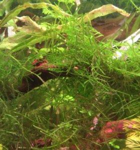Мох яванский аквариумный