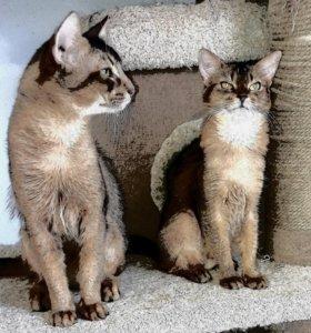 Сомалийский котик вязка