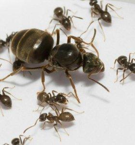 Мyравьи Lasius Niger