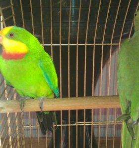Попугай баррабандов