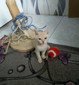 Бесплатно котенок - кошечка метис сфинкса