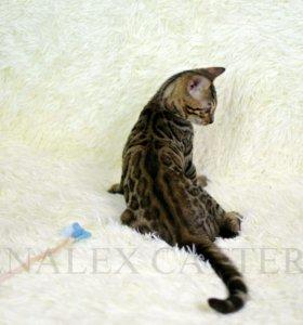 Бенгальсеий котенок