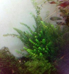Аквариумные растения. Грунтовые.