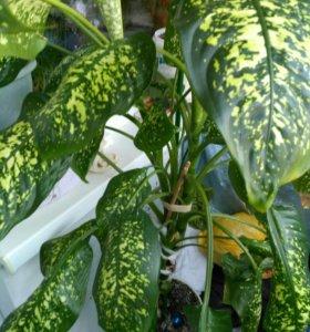 Диффенбахия-комнатное растение