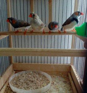 Попугаи (Зебровые Амадины)