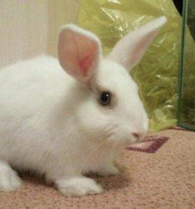 Срочно Кролик декоративный