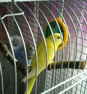 Продаются волнистые попугаи вместе с клеткой