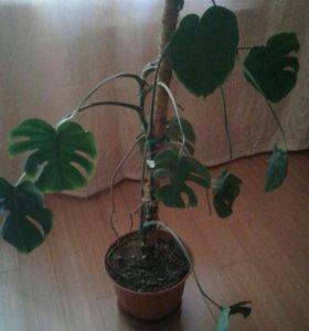 Монстера - тропическое растение