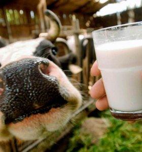 продаются коровы и телка