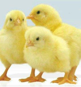 Цыплята бройлерные