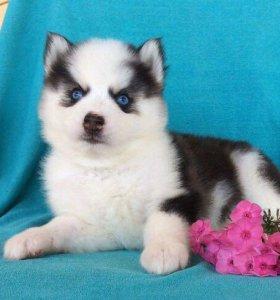 Сибирские щеночки
