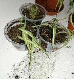Комнатные растения хлорофилус