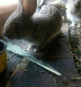 Крольчата фландр не помесь