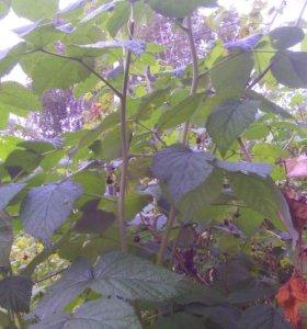 Саженцы малины