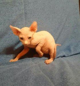 Продается катенок сфинкс два месяца котенку.