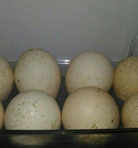 Индюшиные яйца на еду.