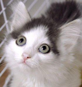 Котенок в дар. Кумо 3 мес.