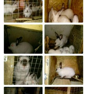 Кролики калифорнийцы распродажа