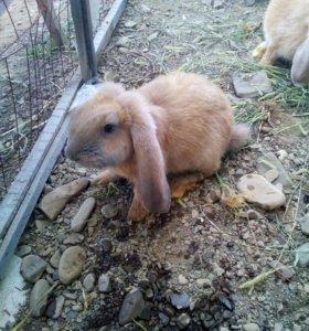 Кролик веслоухий баран