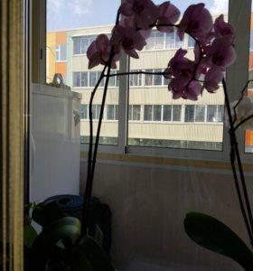 Орхидея!!