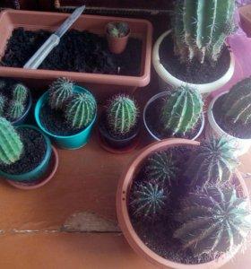 Продам большие кактусы