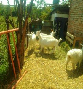 Козы козлы козлята бараны