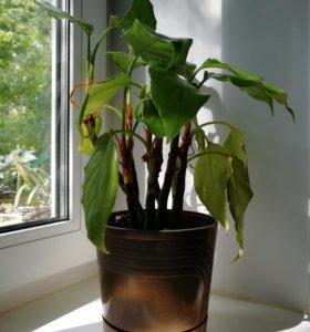 Комнатное растение /Аглаонема