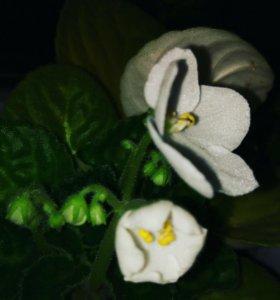 Сенполия (фиалка) белая