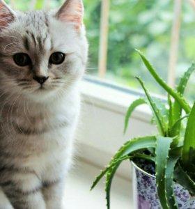Милый Шотландский котенок )