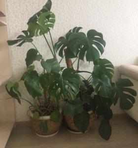 Комнатные растения монстера
