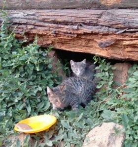 Два серо-полосатых котенка