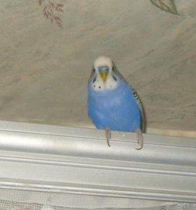 Продам попугая волнистого вместе с клеткой