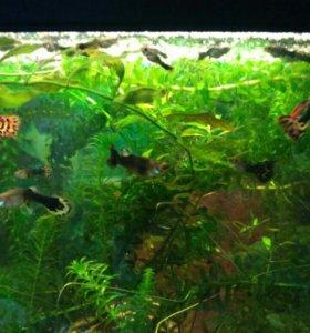 Рыбки гуппи подростки